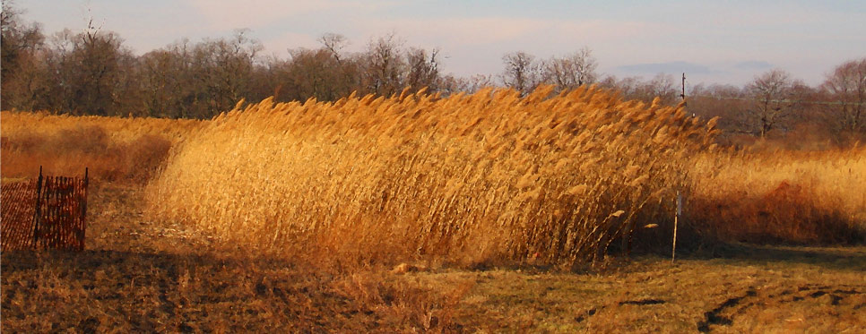 Clump of Phragmites, Orient